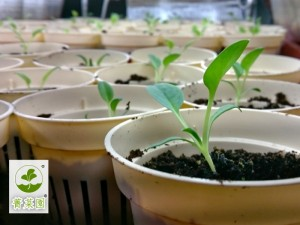生蠔葉種苗,土耕