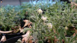日本冰花 開花結籽
