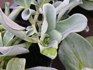 生蠔葉開花