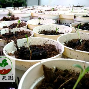 生蠔葉種苗