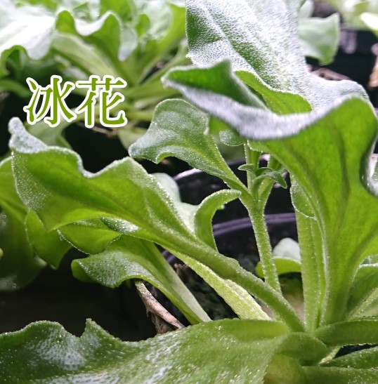菁菜園冰花