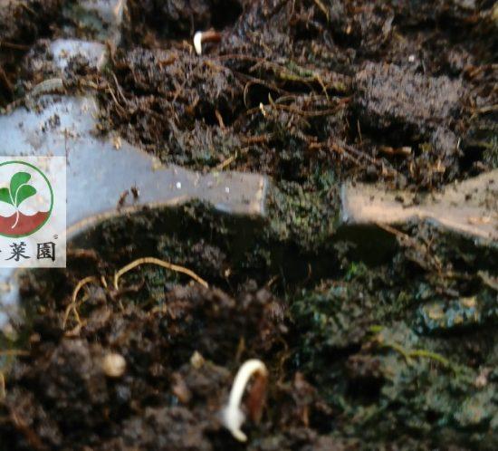 生蠔葉 種子哪裡買