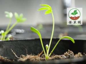 海茴香種苗