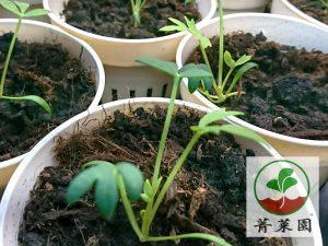 海茴香相片