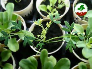 海茴香苗 90天