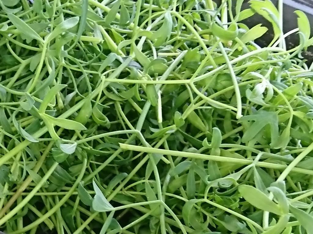 菁菜園海茴香