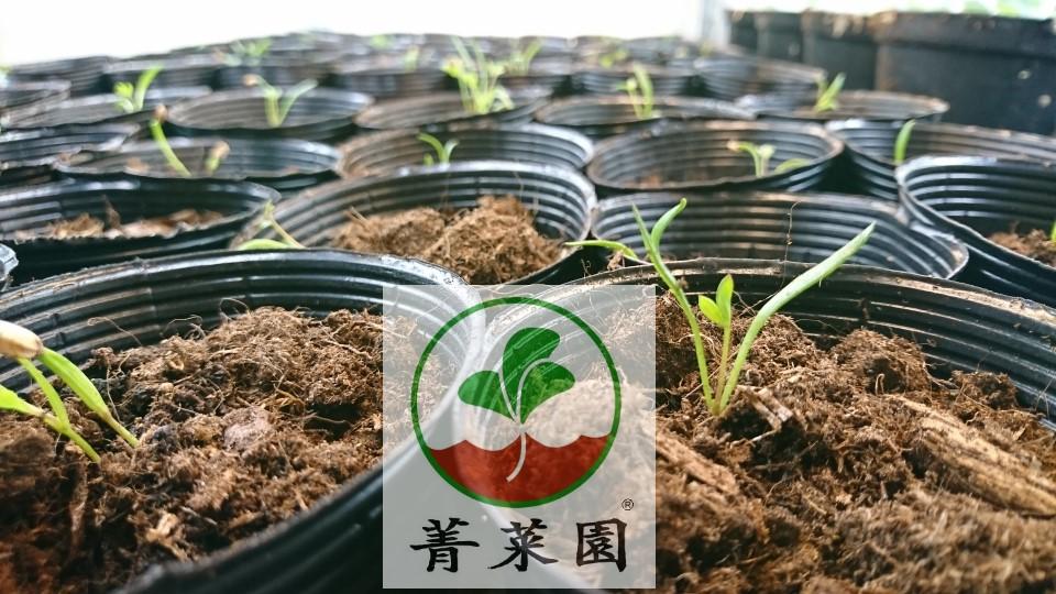 菁菜園 海茴香種苗