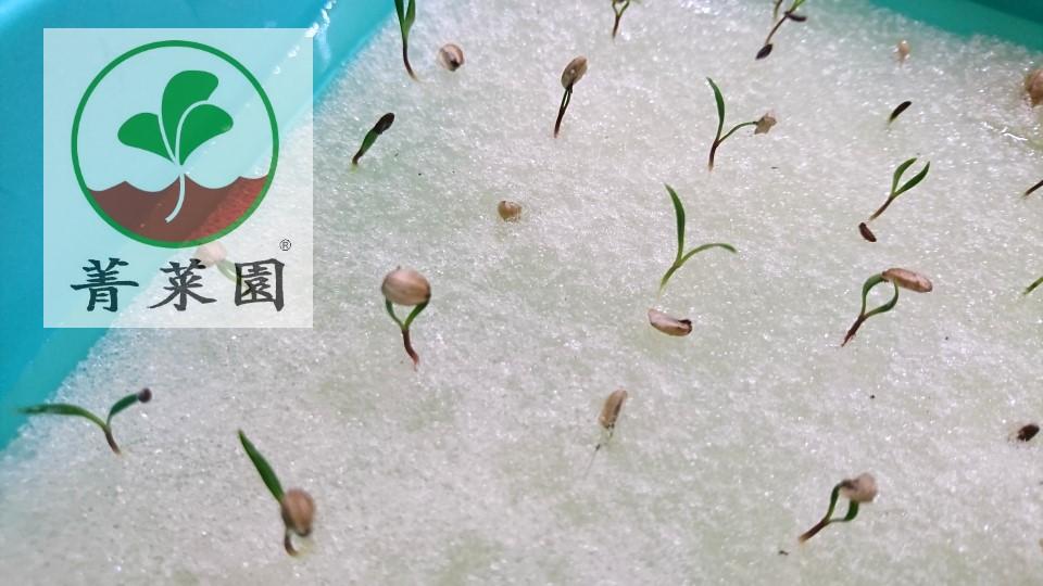 海茴香 水耕苗